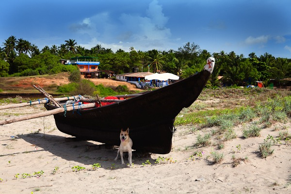 Dog sheltering from mid day sun under a fishing boat Arambol Beach goa